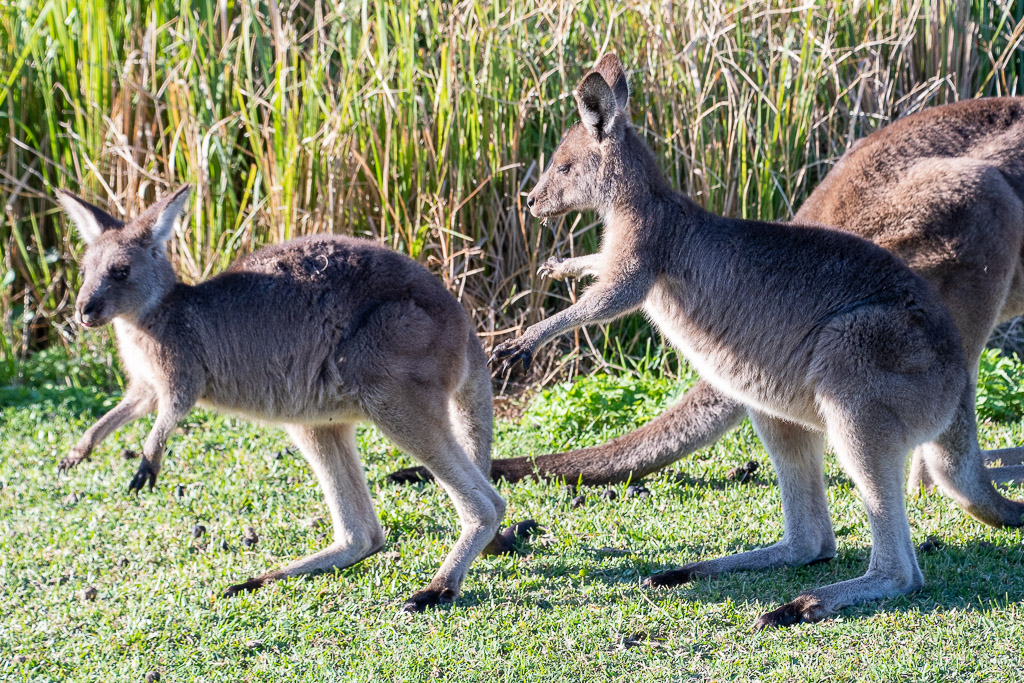 Playful baby roos