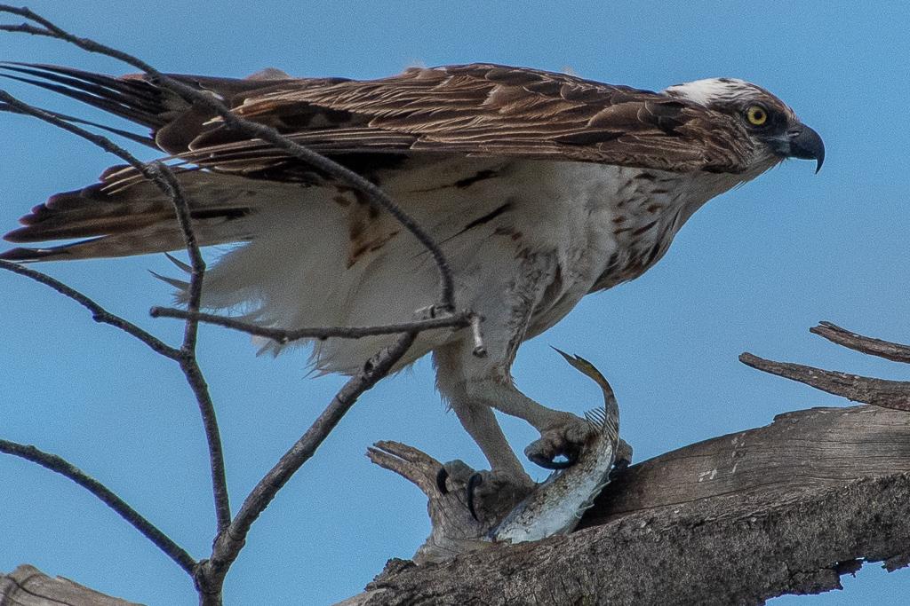 Osprey - Elliot Beach QLD