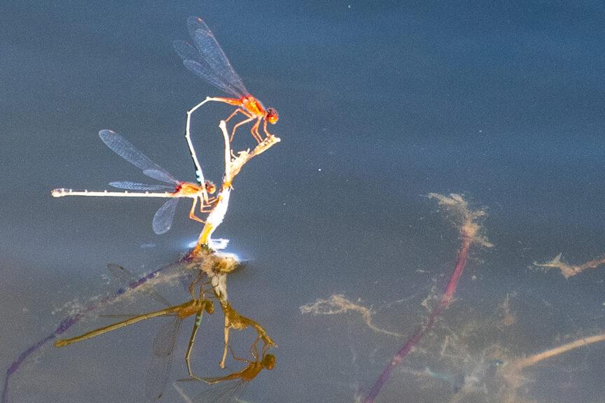 Lake dragonflies