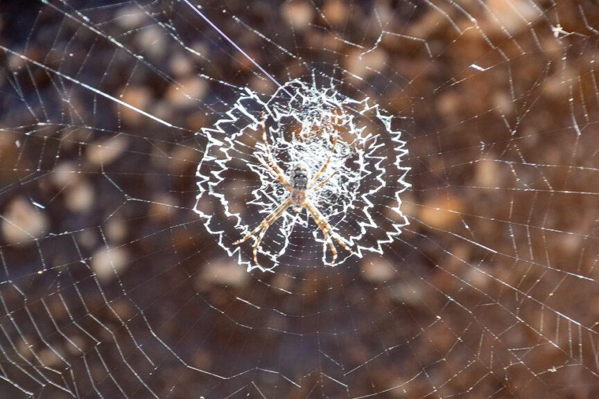 St George Spider